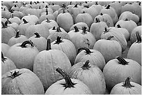 Pumpkins in a patch, near Pescadero. San Mateo County, California, USA (black and white)