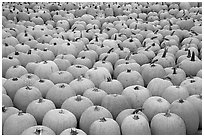 Pumpkin patch, near Pescadero. San Mateo County, California, USA (black and white)
