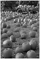 Pumpkin patch. San Jose, California, USA (black and white)