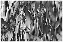 Monarch butterfly in Eucalyptus tree, Natural Bridges State Park. Santa Cruz, California, USA (black and white)