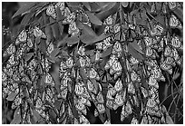 Cluster of Monarch butterflies, Natural Bridges State Park. Santa Cruz, California, USA (black and white)