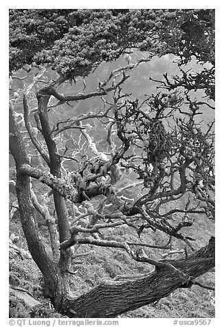 Trees covered with Carotene, Allan Memorial Grove. Point Lobos State Preserve, California, USA (black and white)
