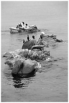 Rocks with birds and seals. Pacific Grove, California, USA (black and white)