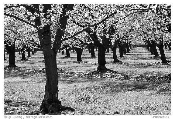 Orchards trees in blossom, San Joaquin Valley. California, USA (black and white)