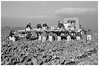 Farm workers picking up salads, Salinas Valley. California, USA (black and white)