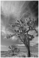 Joshua Trees and clouds. Mojave National Preserve, California, USA (black and white)
