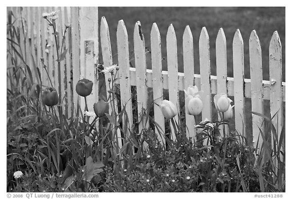 Tulips and white picket fence, Old Saybrook. Connecticut, USA