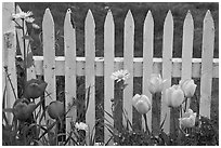 Yellow and red tulips, white picket fence, Old Saybrook. Connecticut, USA (black and white)