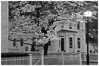 Dogwood in bloom, street light, and facade at night, Essex. Connecticut, USA (black and white)