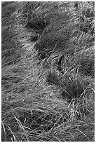 Grass curled by wind, Cape Cod National Seashore. Cape Cod, Massachussets, USA ( black and white)