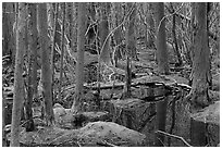 White Cedar Swamp, Cape Cod National Seashore. Cape Cod, Massachussets, USA (black and white)