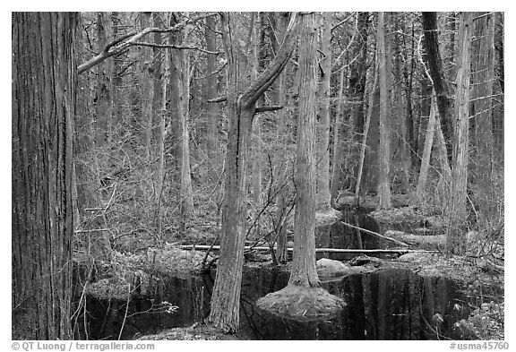Atlantic White Cedar swamp forest, Cape Cod National Seashore. Cape Cod, Massachussets, USA (black and white)