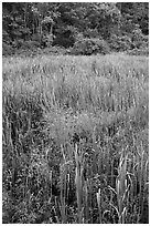 Tall grasses in meadow, Minute Man National Historical Park. Massachussets, USA (black and white)