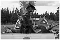 Moose with kill tag in back of truck being lifted, Kokadjo. Maine, USA (black and white)