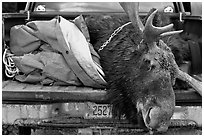 Large killed moose in back of truck, Kokadjo. Maine, USA (black and white)