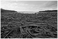 Dead trees on the shore of Chesunkunk Lake. Maine, USA ( black and white)