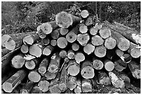 Cut tree trunks. Maine, USA (black and white)