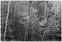 Septentrional trees with light trunks in fall foliage. Allagash Wilderness Waterway, Maine, USA (black and white)