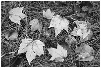 Individual fallen leaves with water drops on bed of pine needles. Katahdin Woods and Waters National Monument, Maine, USA ( black and white)