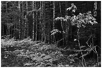 Ferns and forest on glacial esker. Katahdin Woods and Waters National Monument, Maine, USA ( black and white)