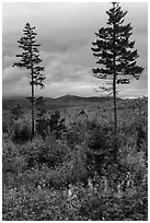 Two spruce trees amongst northern hardwood forest in autumn. Katahdin Woods and Waters National Monument, Maine, USA ( black and white)