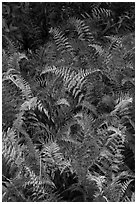 Ferns in autumn. Katahdin Woods and Waters National Monument, Maine, USA ( black and white)