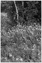 Wildflowers, ferns, and maple in meadow. Katahdin Woods and Waters National Monument, Maine, USA ( black and white)