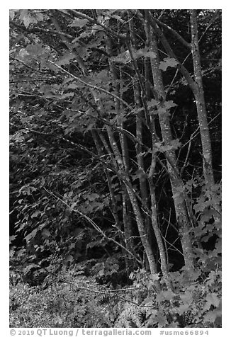 Maple with red leaves. Katahdin Woods and Waters National Monument, Maine, USA (black and white)