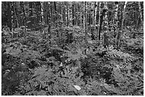Deciduous northern hardwood forest with lush and colorful undergrowth in autumn. Katahdin Woods and Waters National Monument, Maine, USA ( black and white)