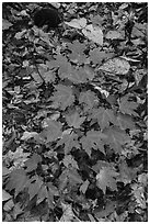 Red and green leaves on forest floor. Katahdin Woods and Waters National Monument, Maine, USA ( black and white)