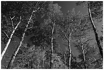 Autumn aspen and blue sky. Katahdin Woods and Waters National Monument, Maine, USA ( black and white)
