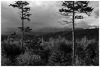 Spruce and hardwood trees, late afternoon. Katahdin Woods and Waters National Monument, Maine, USA ( black and white)