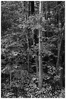 Trees with red maple leaves. Katahdin Woods and Waters National Monument, Maine, USA ( black and white)