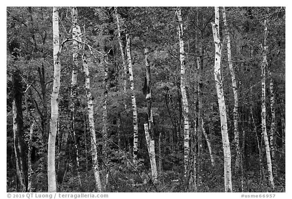Birch trees and colorful autumn foliage. Katahdin Woods and Waters National Monument, Maine, USA (black and white)