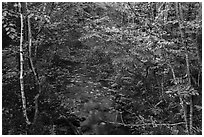 Stream in autumn forest. Katahdin Woods and Waters National Monument, Maine, USA ( black and white)