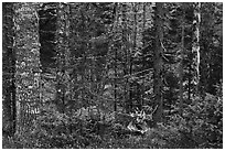 Mature spruce fir forest along esker. Katahdin Woods and Waters National Monument, Maine, USA ( black and white)