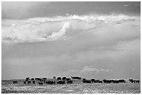 Open pasture with cows and clouds. North Dakota, USA (black and white)