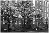 Dogwoods in bloom and University Hall at dusk, Brown University. Providence, Rhode Island, USA (black and white)