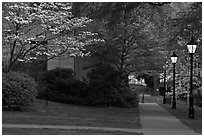 Walkway, lamps, and trees in bloom on Brown University campus. Providence, Rhode Island, USA (black and white)