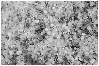Close-up of hailstones covering meadow grass. Black Hills, South Dakota, USA (black and white)