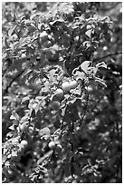 Branches with cherry plums. Hells Canyon National Recreation Area, Idaho and Oregon, USA ( black and white)