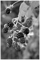 Close-up of blackberries. Hells Canyon National Recreation Area, Idaho and Oregon, USA (black and white)
