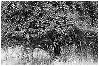 Plum tree. Hells Canyon National Recreation Area, Idaho and Oregon, USA ( black and white)