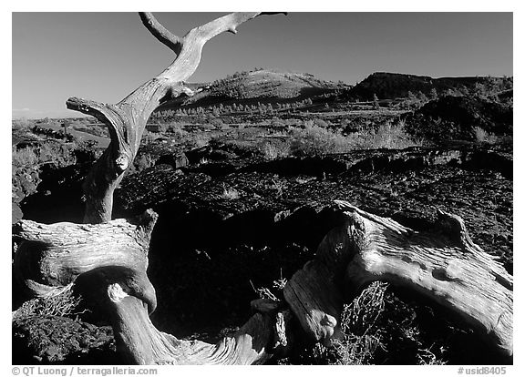 Tree skeleton and lava field, Craters of the Moon National Monument. Idaho, USA