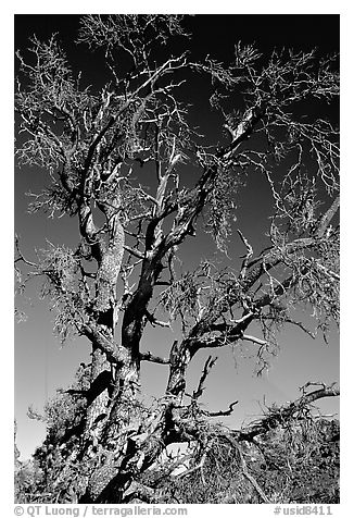 Dead tree, Craters of the Moon National Monument. Idaho, USA (black and white)