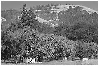 Fruit orchard and hill. Oregon, USA ( black and white)