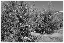 Red apple trees. Oregon, USA ( black and white)