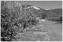 Apple orchard and road. Oregon, USA ( black and white)