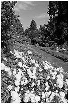 White roses, Rose Garden. Portland, Oregon, USA (black and white)