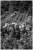 Portland Rose Garden. Portland, Oregon, USA ( black and white)